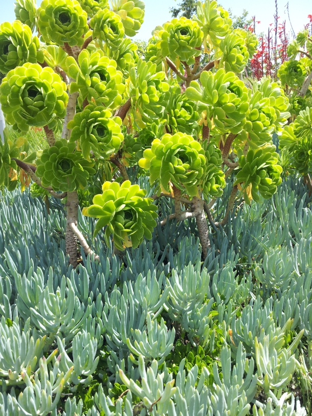 Lush green succulents at Tongva Park in Santa Monica