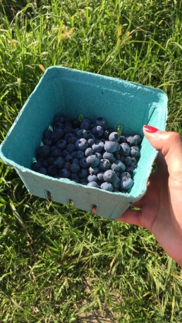 Blueberry Picking at Cider Hill Farm, Amesbury MA